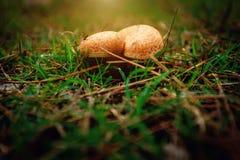 Growing mushrooms Stock Photos
