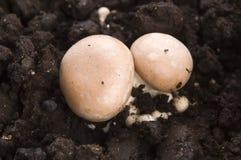 Growing mushrooms Stock Photo