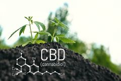 Free Growing Natural Marijuana With Small Seedlings From.soil For The Production Of Cannabis Essential Oil In Medicinal Preparations. Stock Image - 139210841