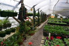 Growing in a nursery hoop tunnel. Nursery shot showing hanging plants, potted flowers, and seed trays stock photography
