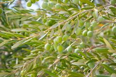 Green olives in plant Royalty Free Stock Photo
