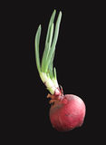 Growing onion Royalty Free Stock Photo