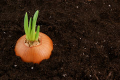 Growing onion bulb Royalty Free Stock Images