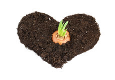 Growing onion bulb with fresh green sprouts Royalty Free Stock Photography