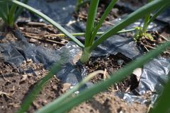 Growing onion on farm. In spring Royalty Free Stock Photo