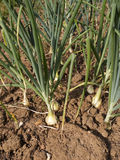Growing Onions Stock Photo