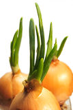 Growing onions Royalty Free Stock Image