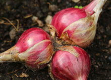 Growing onions Royalty Free Stock Photo