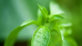 Growing in the open air, young green basil. Close-up stock video footage