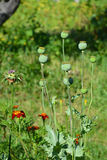 Growing opium poppyhead. Harvest of opium from green poppy. Royalty Free Stock Photo