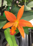 An growing orange orchid stock images