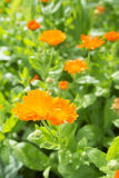 Growing orange and yellow flowers Marigolds (Calendula). Stock Photo
