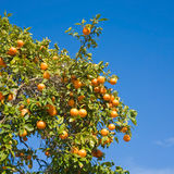 Growing oranges Stock Photos