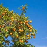 Growing oranges. Against bright blue sky stock photos