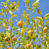 Growing oranges Royalty Free Stock Photography