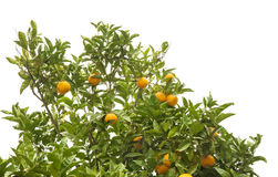 Growing oranges isolated Royalty Free Stock Images