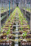 Growing orchid, baby orchid in Thailand tropical agricultural or Stock Photo