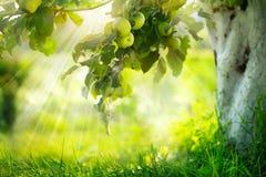 Growing Organic Apples stock image