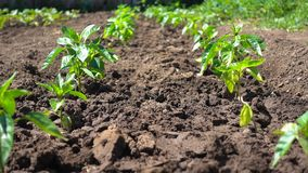 Growing organic bell peppers on farmland. Beautiful pepper seedling grow in the sun.  stock footage