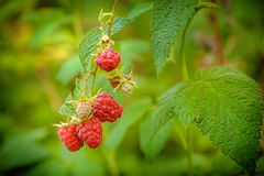 Growing Organic Berries Closeup. Raspberries. Growing Organic Berries Closeup. Ripe Raspberry In The Fruit Garden Royalty Free Stock Photography