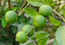 Growing organic lemons Stock Image