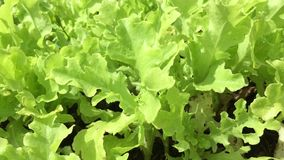Growing organic lettuce stock video footage