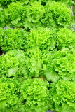 Growing Organic vegetable farms. For Background Stock Photo