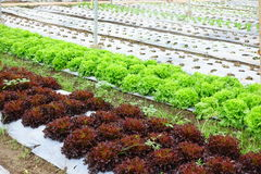 Growing Organic vegetable farms Stock Image