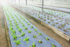 Growing Organic vegetable farms. For Background Stock Photography