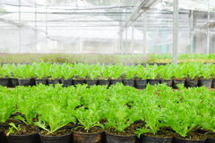 Growing Organic vegetable farms. For Background Stock Photos