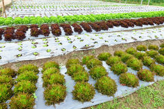 Growing Organic vegetable farms Royalty Free Stock Photography
