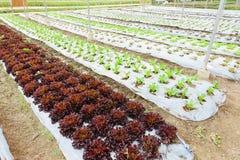 Growing Organic vegetable farms Royalty Free Stock Photo