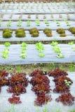 Growing Organic vegetable farms Royalty Free Stock Image