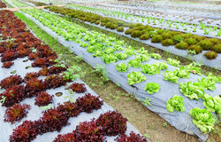 Growing Organic vegetable farms Stock Images