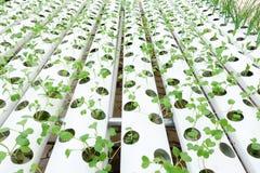 Growing Organic vegetable farms Stock Photo