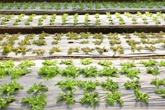 Growing organic vegetable farms. For background Stock Image