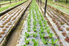 Growing organic vegetable farms. For background Royalty Free Stock Image