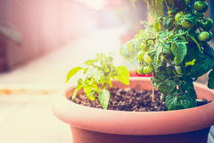 Growing organic vegetables on the balcony. Outdoor Stock Photography