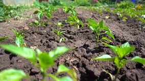 Growing organic vegetables on the farm. Neat rows of bell peppers grow in the sun.  stock footage
