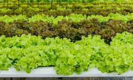 Growing organic vegetables without soil. Royalty Free Stock Image