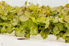 Growing organic vegetables without soil. Stock Photo