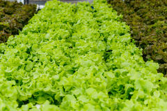 Growing organic vegetables without soil. Stock Photos