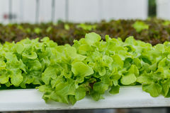 Growing organic vegetables without soil. Royalty Free Stock Photos