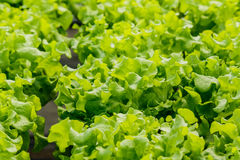 Growing organic vegetables without soil in garden. Royalty Free Stock Photo