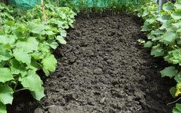 Growing organic vegetables. Royalty Free Stock Photo