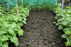 Growing organic vegetables. Royalty Free Stock Images