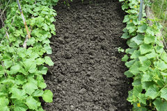 Growing organic vegetables. Royalty Free Stock Photography