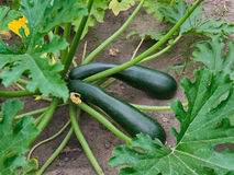Growing Organic Zucchini Stock Images