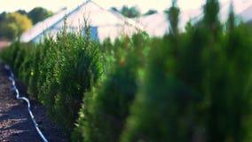 Growing ornamental evergreen nursery thuja trees for sale on tree farm. farming, greenhouse farming