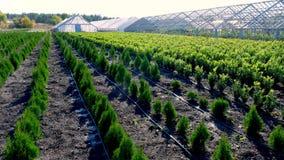 Growing ornamental evergreen nursery trees, thuja, boxwood for sale on tree farm. farming, greenhouse farming